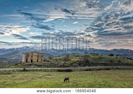 Cow grazing in field in front of old derelict farm buildings in the Balagne region of Corsica with a small road passing by and snow capped mountains in the distance