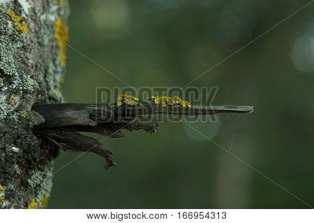 Xanthoria lichen on the branch of aspen