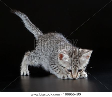 Cute Egyptian Mau Little Kitten