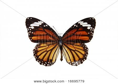 A  butterfly isolated on white background