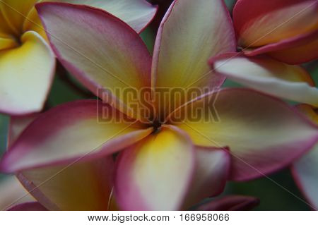 Thai Flower Plumeria Pale Yellow In Macro Photography
