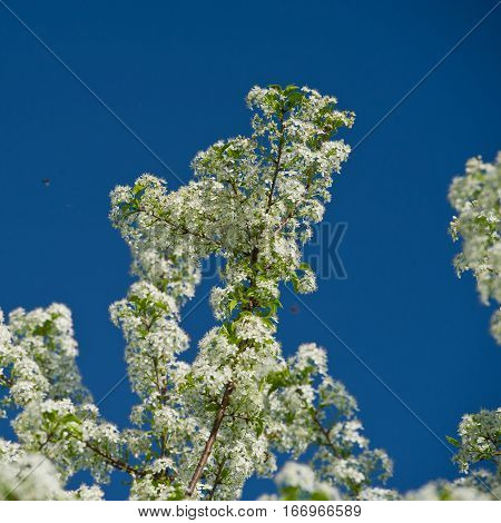 plum branches covered with flowers during the spring bloom