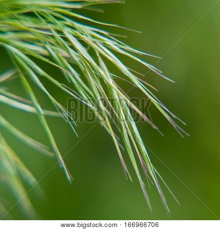spikelets young green grass on a blurred background
