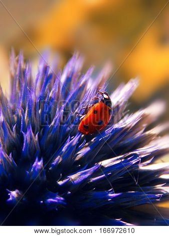 a small ladybird on the violet thistle