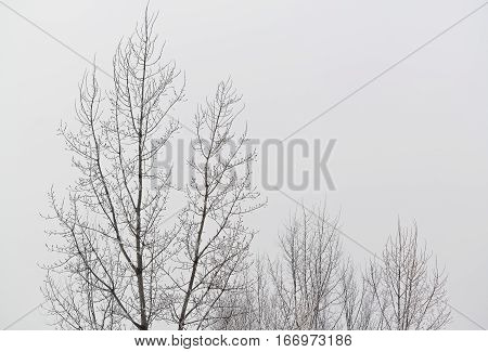 Several bare trees in a cold and overcast winter day