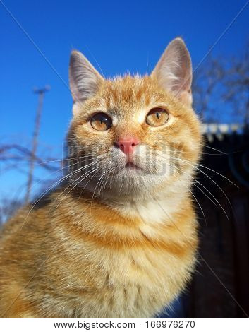 Domestic cat closeup with red hair and eyes the same color