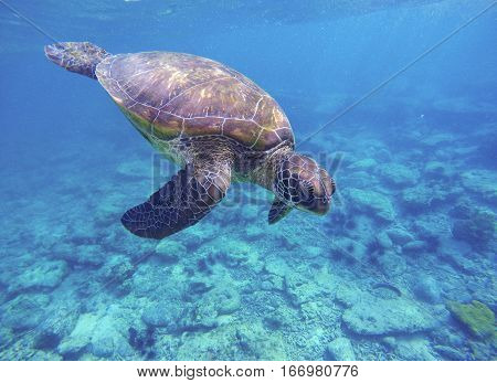 Sea turtle in blue water. Green sea turtle diving in coral reef. Sea tortoise. Snorkeling with turtle in lagoon. Aquatic image of wild nature discovery with text place