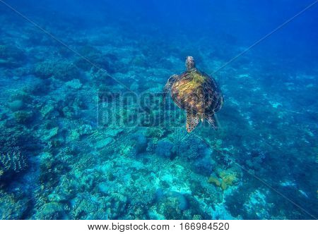 Sea turtle in blue water. Snorkeling with turtle in lagoon. Aquatic image of summer travel activity with text place