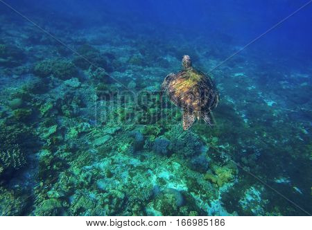 Sea turtle in blue water. Green sea turtle diving in coral reef. Sea tortoise. Green turtle swims in sea.  Aquatic image of summer travel activity with text place