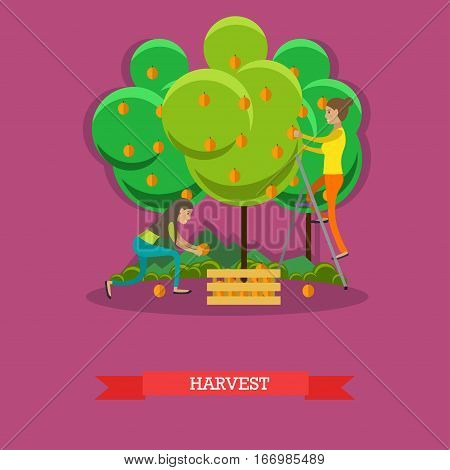 Harvesting concept vector illustration in flat style. Gardeners women picking peaches and putting them into wooden box.