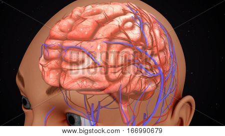 The human brain has many properties that are common to all vertebrate brains, including a basic division into three parts called the forebrain, midbrain, and hindbrain.