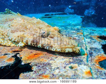 Crocodile fish on the deck of a sunken ship. Survey on the shipwreck SS Thistlegorm. Fish of the red sea.
