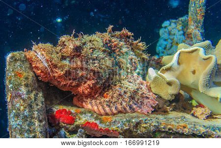 Skorpena on the deck of a sunken ship. Survey on the shipwreck SS Thistlegorm. Fish of the red sea.