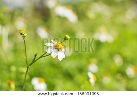 white daisies daisy flower in morning. nature background