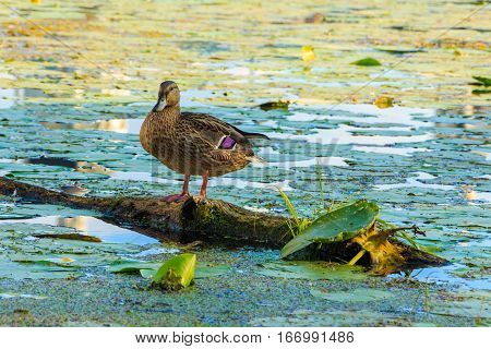 Wild duck sitting on a log. River duck. Blooming water of the river.