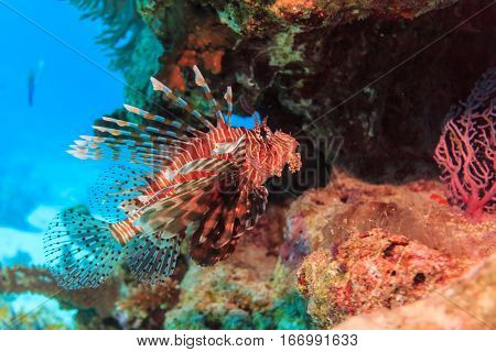 Lion fish hiding in a coral cave. Fish of the red sea.