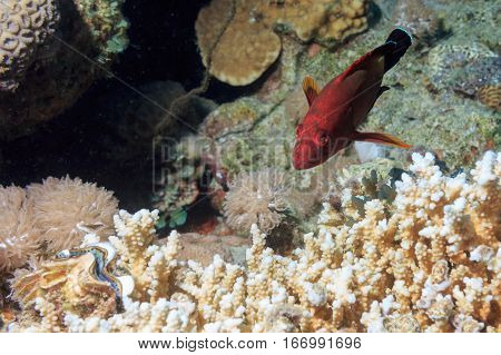 Underwater at the bottom of the red sea. Fish among the corals. Fish of the red sea.