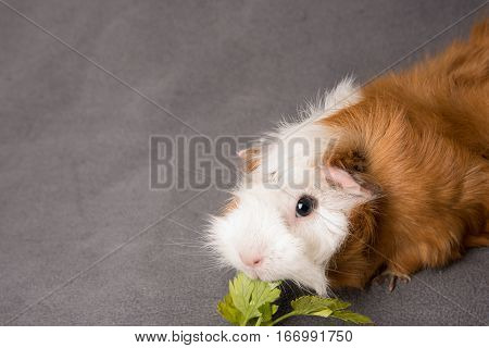 Rosette guinea pig with parsley on grey bachground
