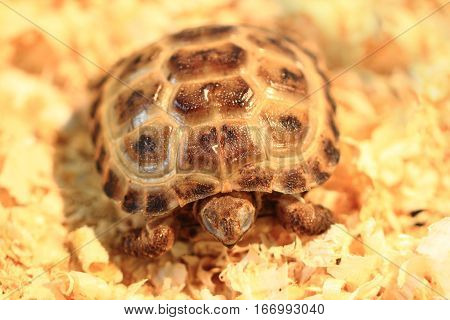 Small Terrestrial Turtle