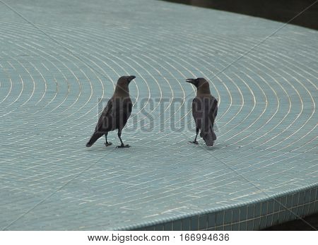 Communication: Ravens chatting and socialising outdoor freely