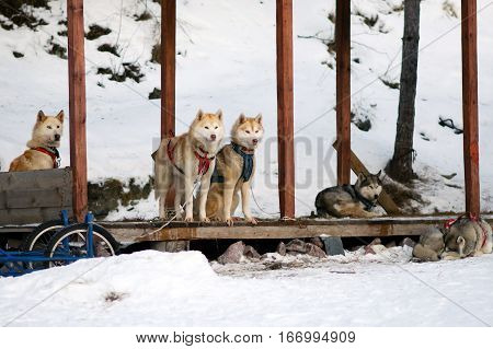 Sled Husky dogs. Working sled dog of the North. Active Husky sledding in the winter in the harnesses to drive in the snow.