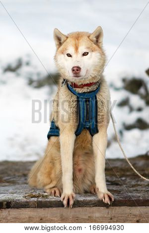 Sports red Sled Husky dog. Working sled dogs of the North. Husky sledding in the winter. North active dog in the harnesses to drive in the snow.
