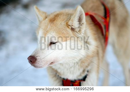 Sports Sled Husky. Working sled dogs of the North. Husky sledding in the winter. North active dog in the harnesses to drive in the snow.