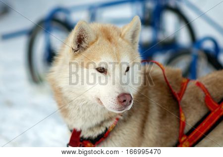 Portrait of red working Sled Husky dog. Working sled dogs of the North. Husky sledding in the winter. North active dog in the harnesses to drive in the snow.