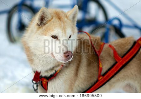 Portrait of red sports Sled Husky dog. Working sled dogs of the North. Husky sledding in the winter. North active dog in the harnesses to drive in the snow.
