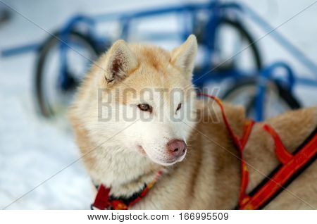 Portrait red working Sled Husky dog of the North. Husky sledding in the and active dogs in the harnesses to drive in the snow.