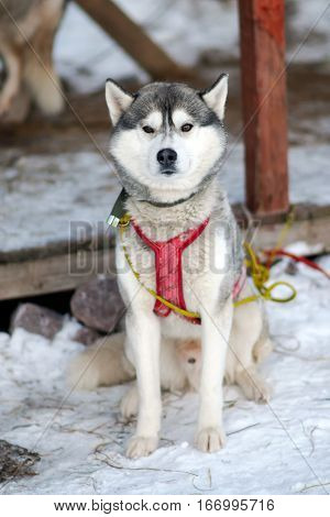 Silver Sled Husky, working dog of the North. Dogs sledding in the winter in the harnesses to drive in the snow.