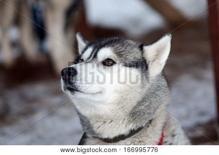 Portrait of silver Sled Husky dog. Working sled dogs of the North. Husky sledding in the winter in the harnesses to drive in the snow.