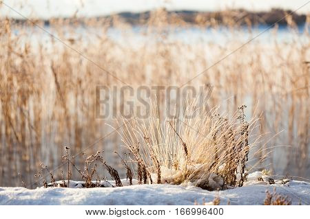 Small plants at lakeside warm winter sunlight blurry background
