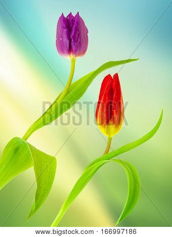 View of two tulips on a diffused green background.