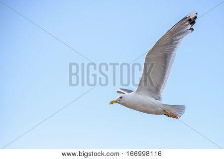 European Herring Gull flying high in blue sky