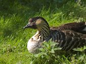 brown hawaiian goose sitting in the grass poster
