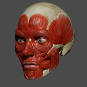 The facial muscles are a group of striated skeletal muscles innervated by the facial nerve (cranial nerve VII) that, among other things, control facial expression. poster