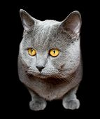 Gray British cat isolated on black background poster