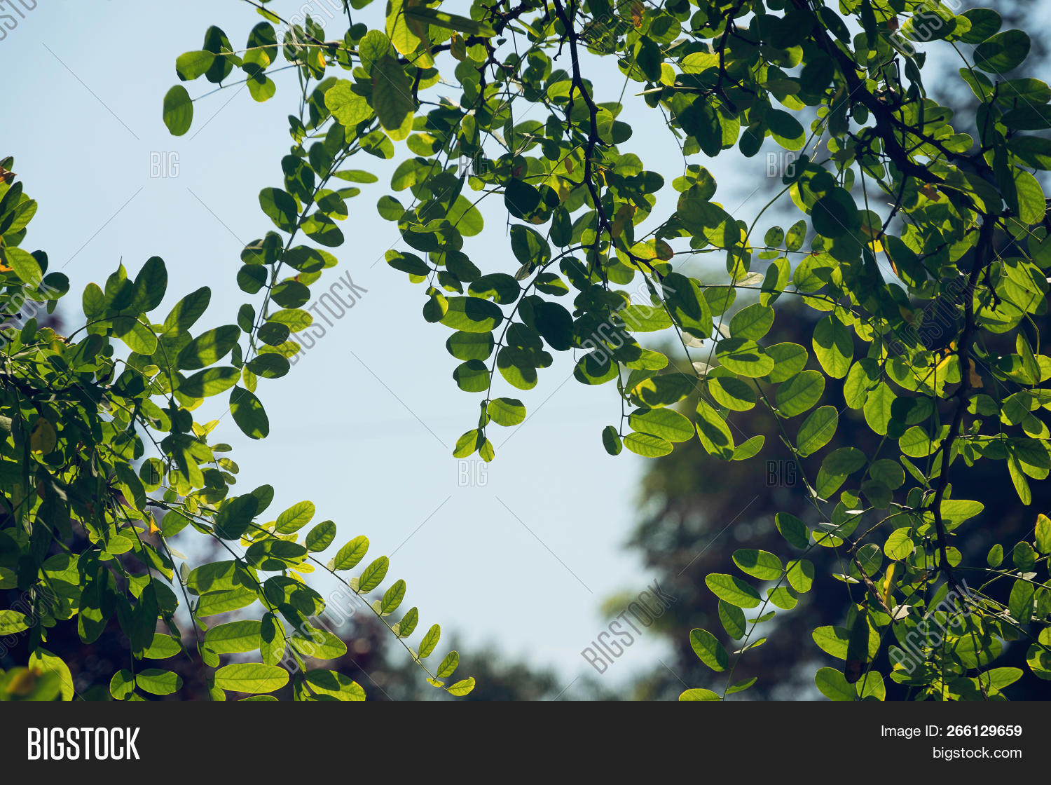 Acacia Leaves Nature Image Photo Free Trial Bigstock