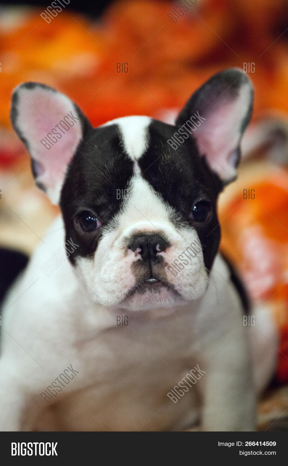 Funny French Bulldog Image Photo Free Trial Bigstock