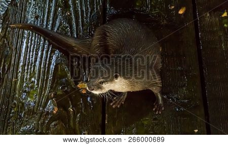 Otter With Wet Hairy Fur Sitting At The Shore On Some Wet Wooden Planks Water Animal Portrait