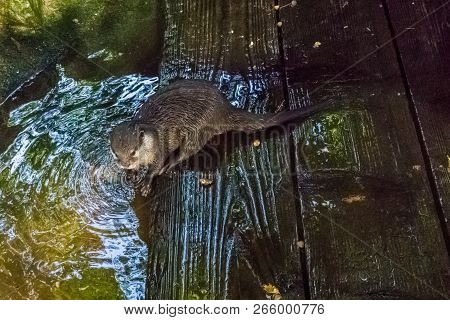 Otter Sitting At The River Side On Some Wet Wooden Planks With Wet Hairy Fur Water Animal Portrait
