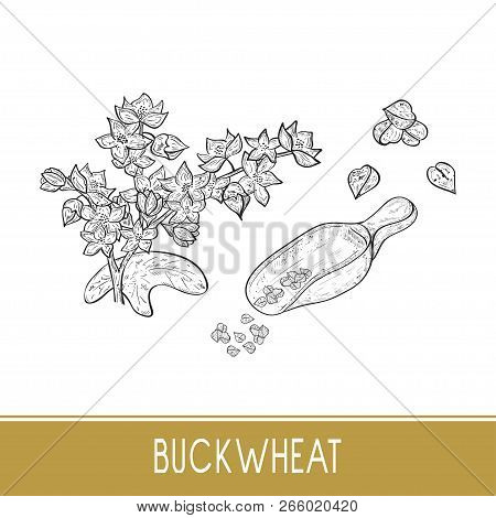 Buckwheat. Plant. Scoop, Grits. Sketch. Monochrome. On A White Background. Set