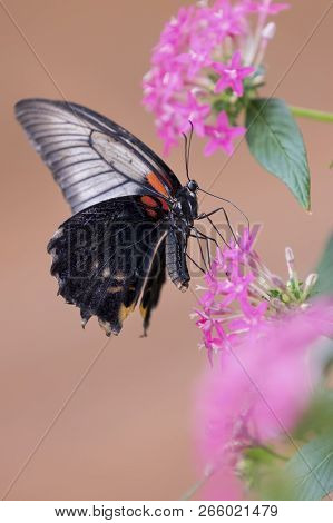 Close-up Of A Black Butterfly Sitting On A Pink Flower