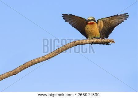 White Fronted Bee Eater On A Branch With A Blue Sky In The Background