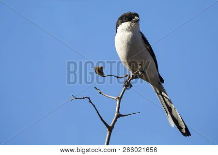 Fiscal Shrike Sitting On The Top Of Dead Branches While Hunting For Insects