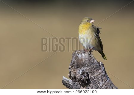 Close-up Of A Female Weaver Bird Perching On A Brown Wood Log