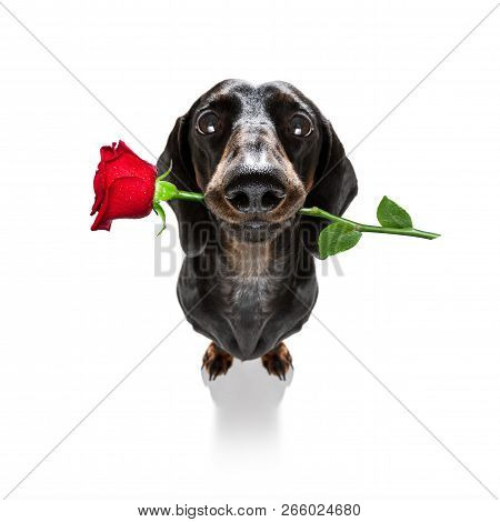 Dachshund  Sausage Dog  In Love For Happy Valentines Day With  Rose Flower In  Mouth , Isaolated On