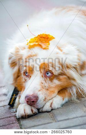 Autumn Concept: Blue Eyed Dog With Mapple Leaf On Head