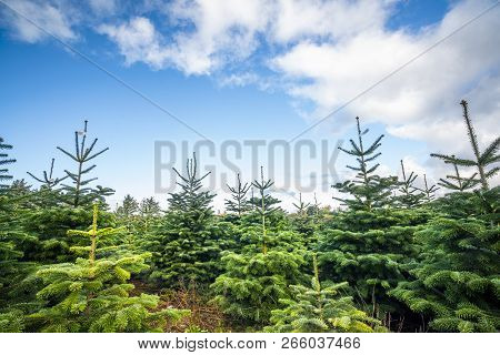 Pine Tree Plantation With Small Trees In Green Color Under A Blue Sky
